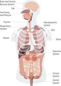 Human body anatomy, head and torso, including bones and major organs